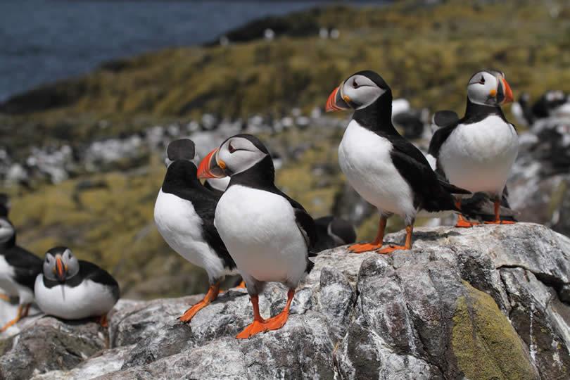 Puffin seabirds on Farne islands