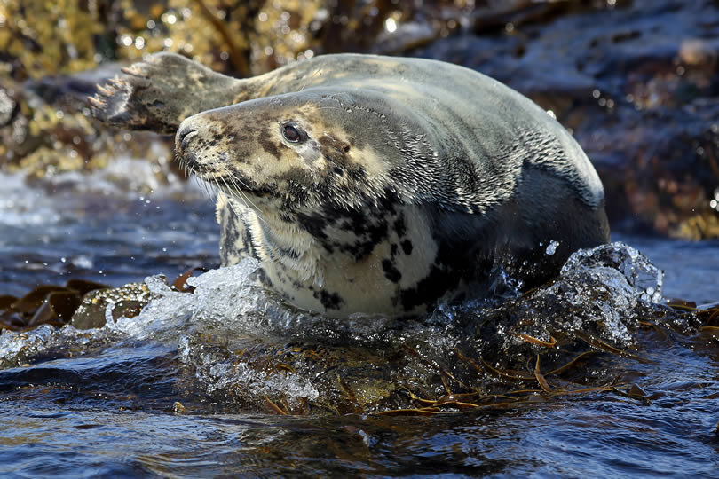 Lundy Island Seal playing