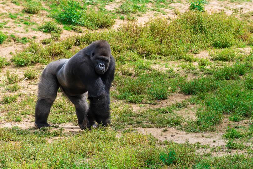 Male gorilla in zoo