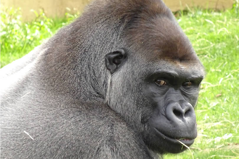 Close up of Gorilla