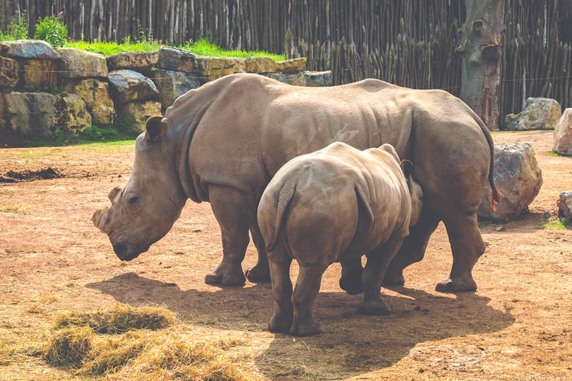 Mother and child rhino in zoo
