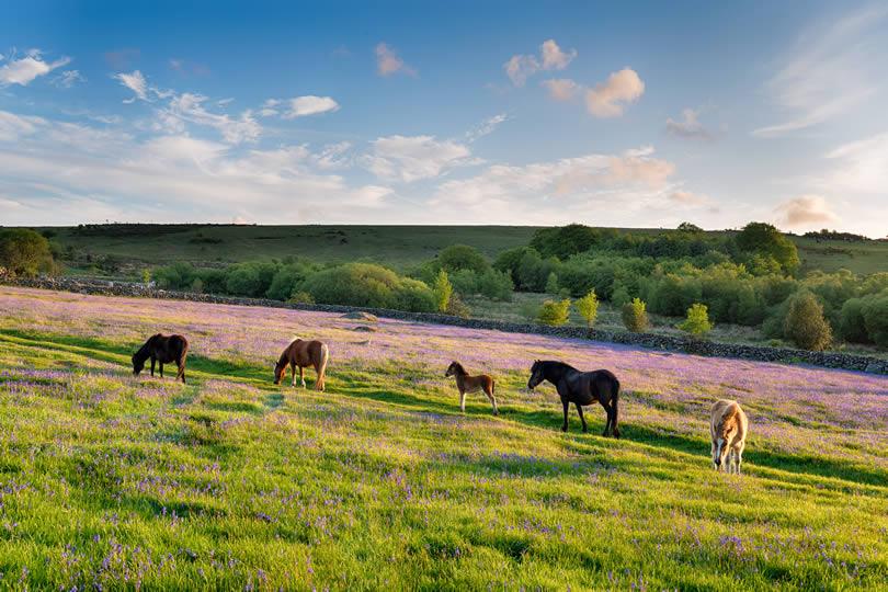 Horses in Dartmoor National Park