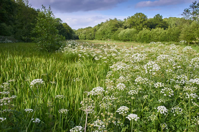 Hemlock Water Dropwort growing in High Weald AONB