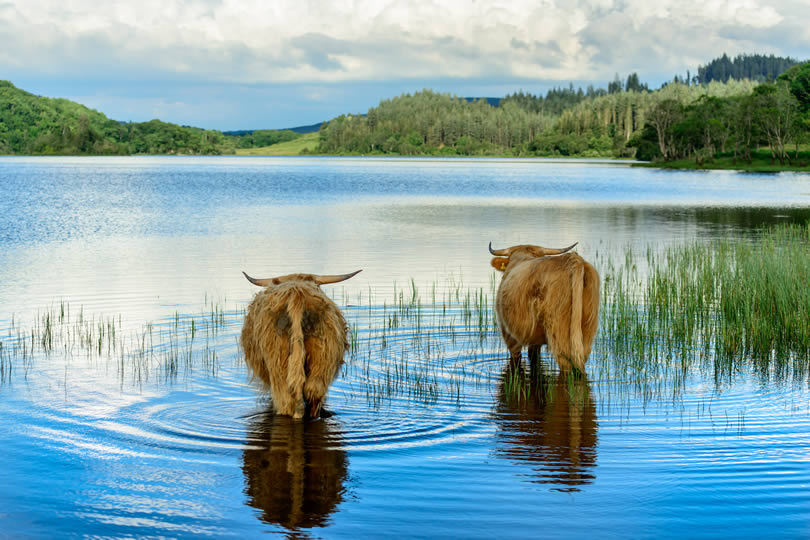 Highland calves in Loch Archay in Loch Lomond and The Trossachs National Park