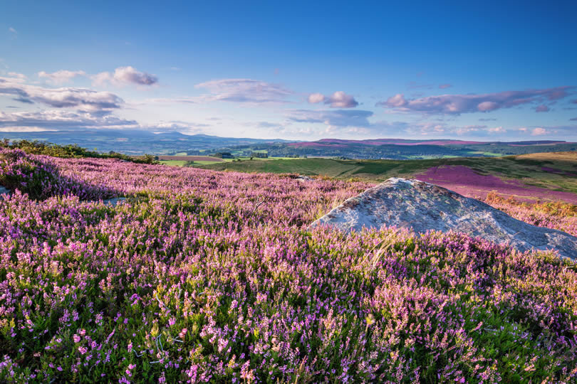 Purple heather on Simonside Hills in Northumberland National Park overlooking the Cheviot Hills