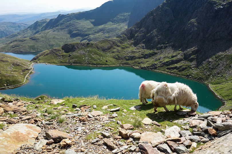 mountain sheep and lake in Snowdonia National Park