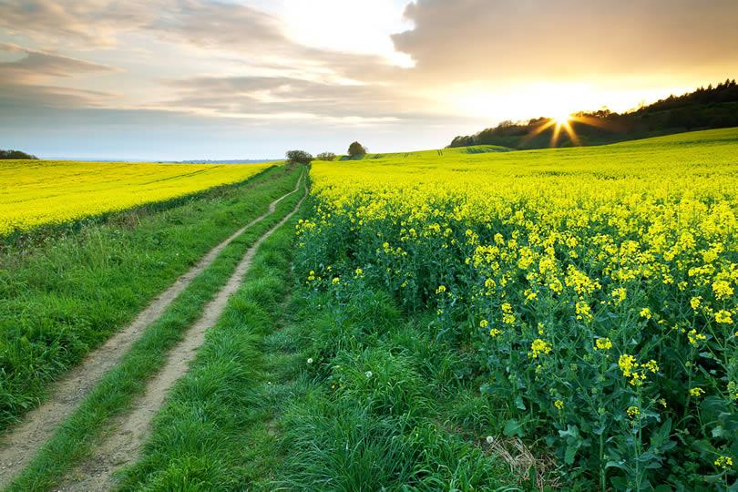 Surrey Hills rapeseed fields
