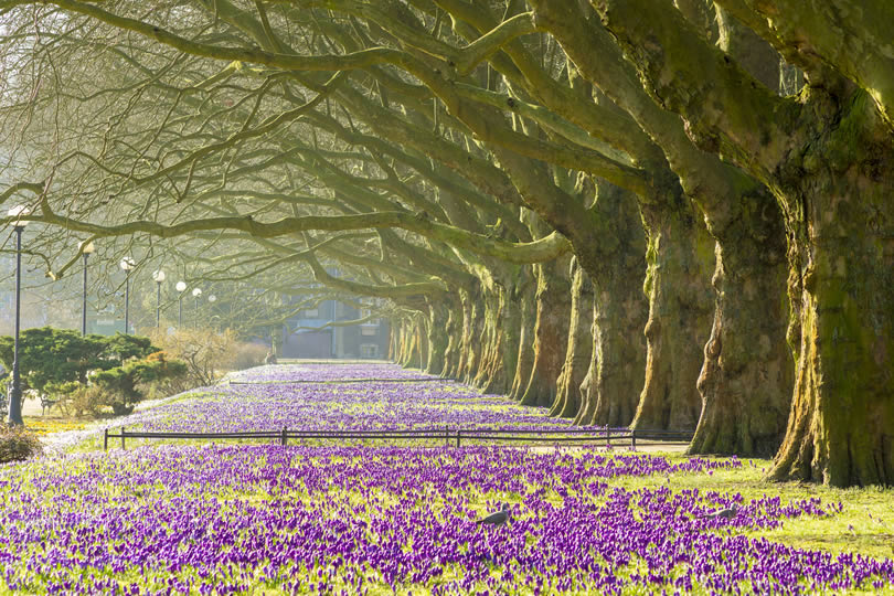 Purple crocuses in the spa town of Harrogate